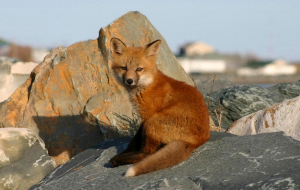 Dhole Widescreen