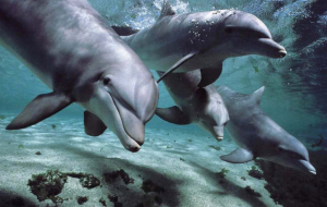 Dolphin Wallpapers For IPhone