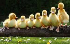Duck Images