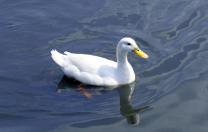 Duck Wallpapers For Android