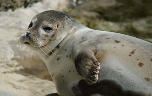 Eared Seals Pictures