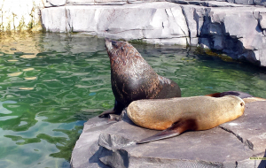 Eared Seals Wallpapers For IPhone