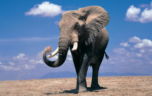 Elephant Full HD Wallpapers