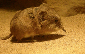 Elephant Shrew Wallpapers For IPhone
