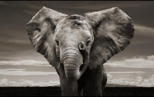 Elephant Wallpapers For Android