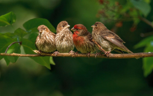 Finches High Resolution