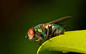 Fly Insect Images