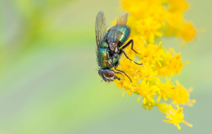 Fly Insect Pinterest