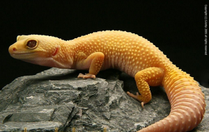 Gecko Pictures