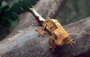 Gecko Wallpapers HQ