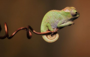 Gecko Wallpapers For Android