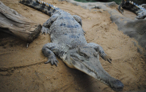 Gharials Images