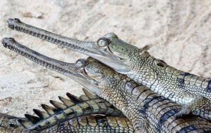 Gharials Pictures