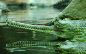 Gharials Wallpapers For Android