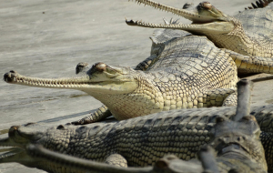 Gharials Wallpapers For IPhone