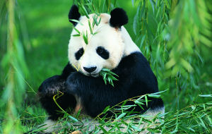 Giant Pandas Beautiful Wallpaper