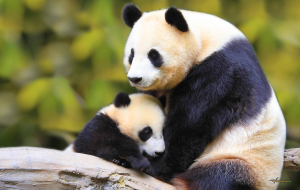 Giant Pandas Full HD Wallpapers