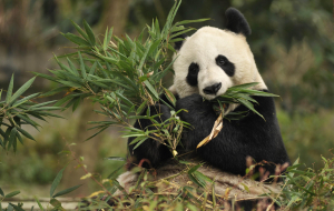 Giant Pandas High Resolution