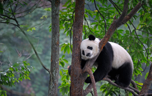 Giant Pandas In HQ