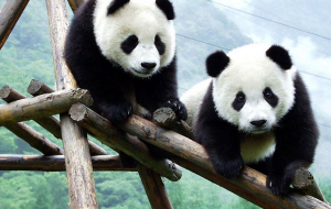 Giant Pandas Photos
