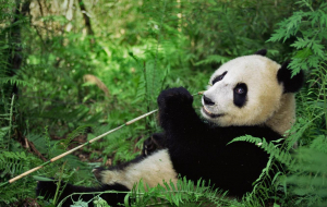 Giant Pandas Wallpapers HD