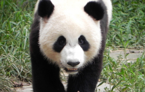 Giant Pandas Wallpapers For Android