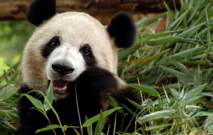 Giant Pandas Wallpapers For IPhone