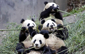Giant Pandas Wallpapers Pack