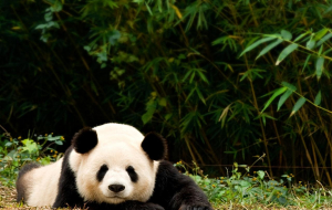 Giant Pandas Widescreen