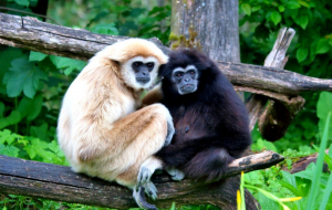 Gibbon Pictures