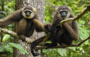 Gibbon Wallpapers HQ