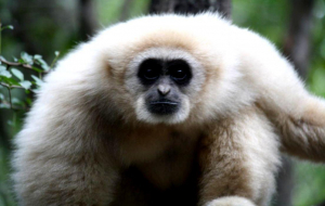 Gibbon Wallpapers For Android
