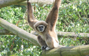 Gibbon Wallpapers For IPhone