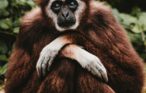 Gibbon Wallpapers Pack
