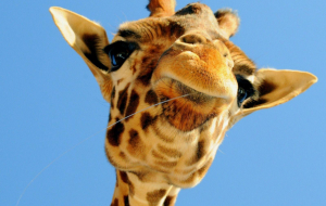 Giraffe Wallpapers For IPhone