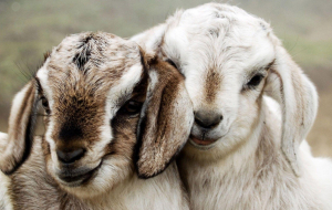 Goats Wallpapers For IPhone