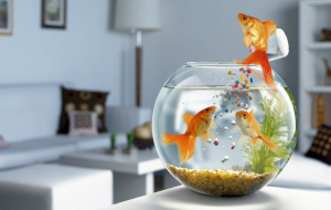 Goldfish Wallpapers For IPhone