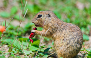 Gopher Wallpapers HD