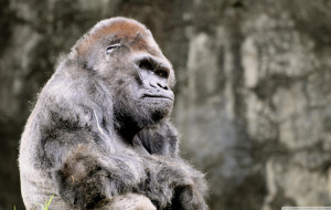 Gorilla Wallpapers For IPhone
