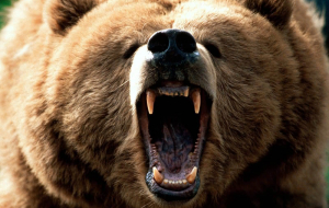 Grizzly Bear Beautiful Wallpaper