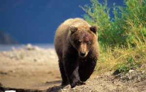 Grizzly Bear Full HD Wallpapers