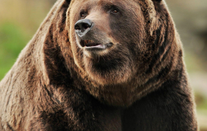 Grizzly Bear Gallery