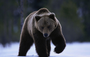 Grizzly Bear High Resolution