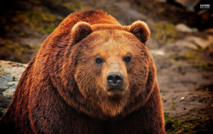 Grizzly Bear Wallpapers For Android