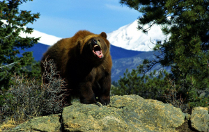Grizzly Bear Wallpapers For IPhone