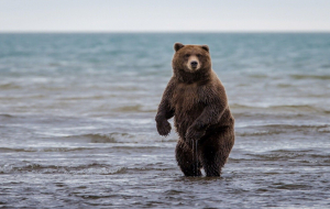 Grizzly Bear Wallpapers Pack