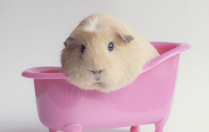 Guinea Pigs Widescreen