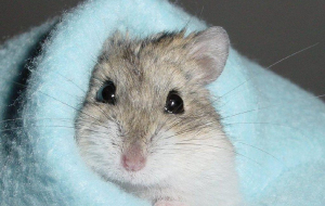 Hamster Wallpapers For Android