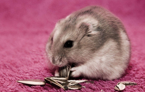 Hamster Wallpapers Pack