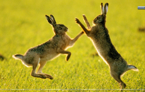 Hares Full HD Wallpapers